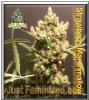 Pot Valley Strawberry Marshmallow 6 Fem Seeds